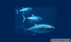 El atun, un rapido pez de sangre fria