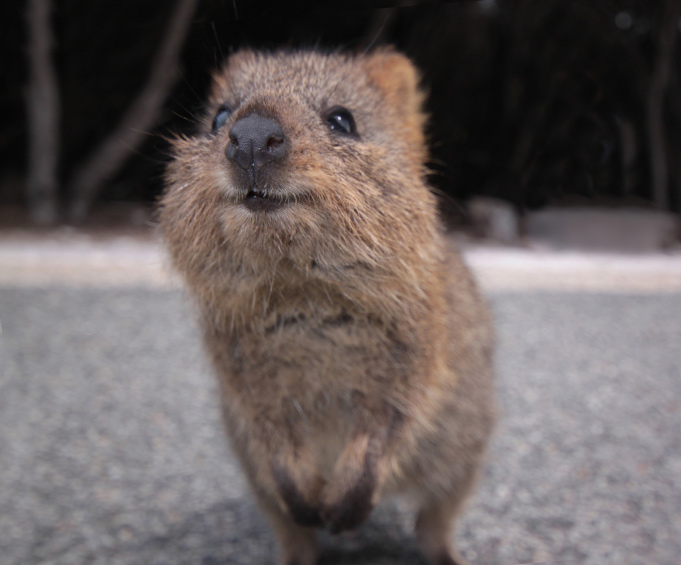 Weird Nature - Quokkas are adorable!