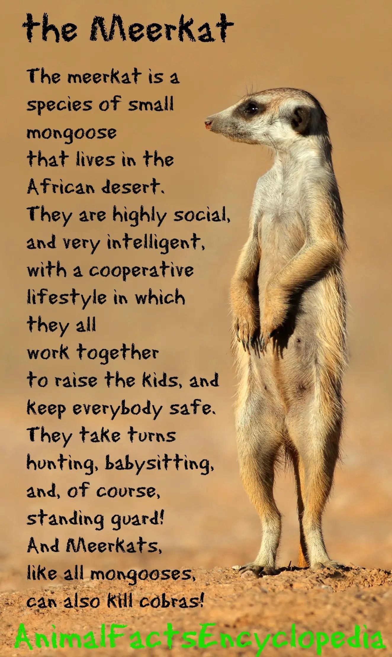 Meerkat Facts