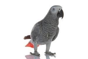 pappagallo cenerino