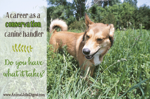 Dog in field - Interview with Jennifer Hartman of Conservation Canines CK9 dog handler