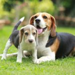 Beagle Puppies For Sale Available In Phoenix Tucson Az