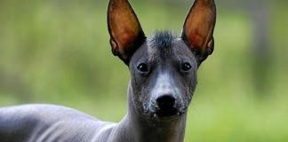 Cane Nudo Messicano con pelo sulla testa.
