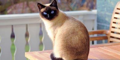 gatto siamese sul tavolo