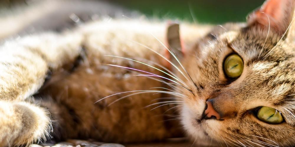 gatto tigrato occhi verdi