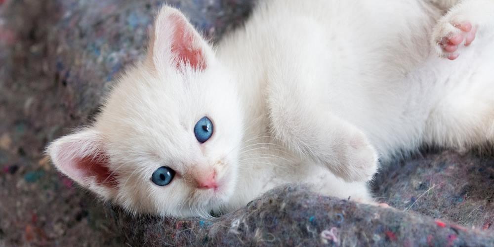 cucciolo di gatto bianco con occhi azzurri