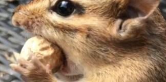 scoiattolo van Gogh mangia nocciolina