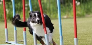 cane prova agility Follow Your Pet