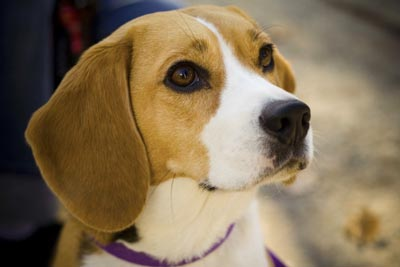 Cane Beagle: educazione.