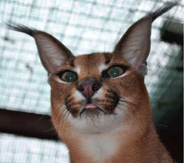 γάτα carcal Γάτα Carcal