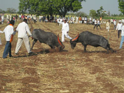 2013-01.buffalo-bull-fight