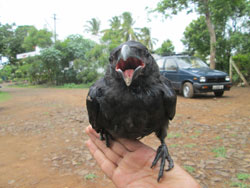 crow-rescued