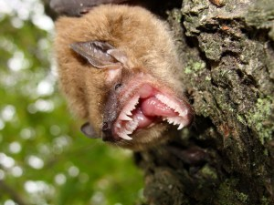 charlottesville virginia bat removal