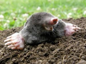 mole and vole removal