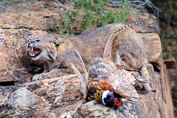 Animal Removal Services of Virginia prefers to modify your habitat so they will not have to kill a bobcat on your property. But  we may have to  kill a bobcat.