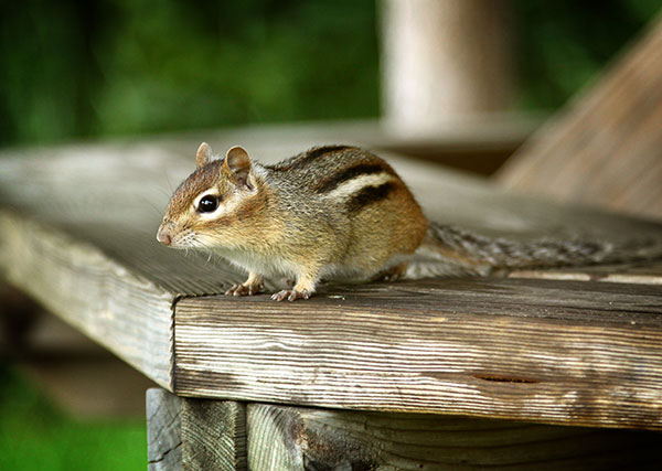 Animal Removal Services of Virginia offers chipmunk control, trapping and removal in Charlottesville, Richmond and beyond.
