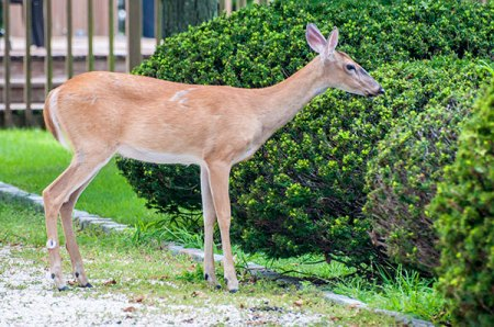 You need Animal Removal Services of Virginia deer management control  expert advice.