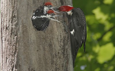 The piliated woodpecker creates the most nuisance bird removal problems of all woodpeckers.