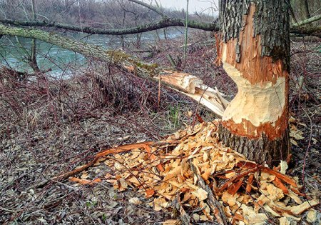 Beavers eat a variety of trees and shrubs. Call Animal Removal Services Of Virginia's Beaver Removal & Trapping Services.