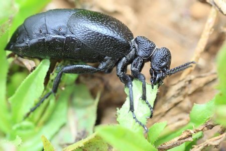 Animal Removal Services Of Virginia - Nuisance Insect Pest Control And Extermination American Blister Beetle Photo.