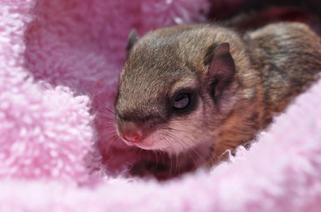 In the winter, 20 or more southern flying squirrels may even den together in your Virginia attic. Call Animal Removal Services Of Virginia's flying squirrel removal for help.