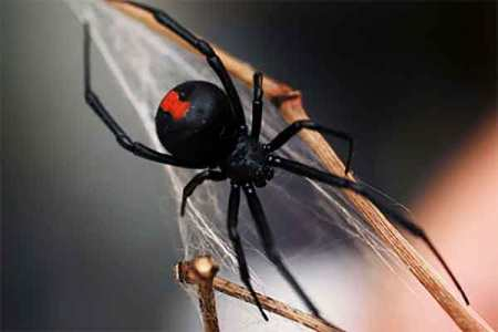 Animal Removal Services Of Virginia - Nuisance Insect Pest Control And Extermination Black Widow Spider image.