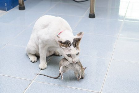 Photo of cat with rat. Call Animal Removal Services Of Virginia - Humane Rat Trapping Removal Experts