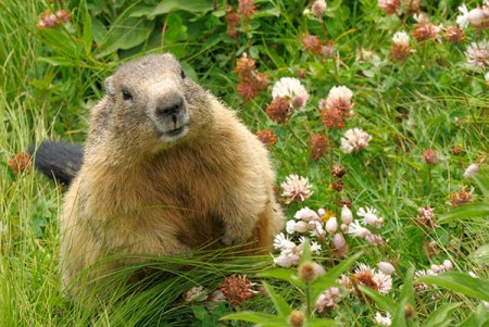 Animal Removal Services Of Virginia Groundhog Trapping Removal Experts must trap this groundhog garden pest