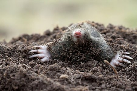 Seen moles popping their heads out of your lawn? Call Animal Removal Services Of Virginia's mole trapping removal service now.