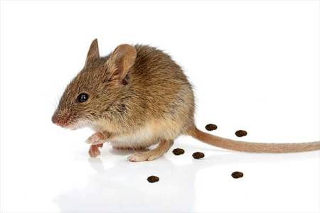 Mouse  droppings are a sure sign they are present. Also, these indicate the size of the infestation, and where they move around the home. For example, mouse droppings are small, less than one quarter inch, and pointed on both ends. A Photo.