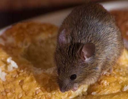 Yuuch! Now, do you know why we say don't leave food out uncovered. You don't want to walk into your kitchen and seeing this, do you? Take our advice if you think you have mice or have seen mice in your home. A Photo of a mouse on bread.