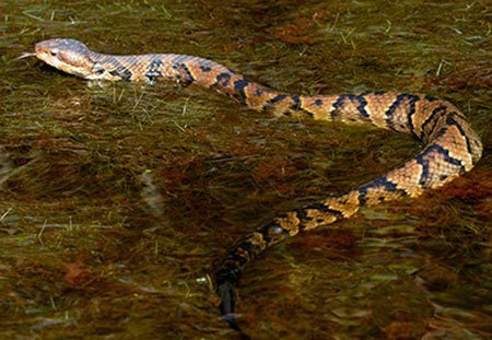 Animal Removal Services Of Virginia - Humane Snake Trapping Removal Experts photo of a northern cottonmouth