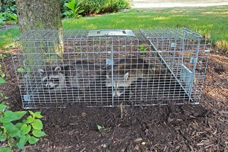 Remember we cannot trap a raccoon on your property and relocate them off property. That's Virginia Law! But, we can raccoon proof your home then free the raccoons once again on your property if you so choose. Some of our clients don't like the idea of us euthanizing raccoons photo.
