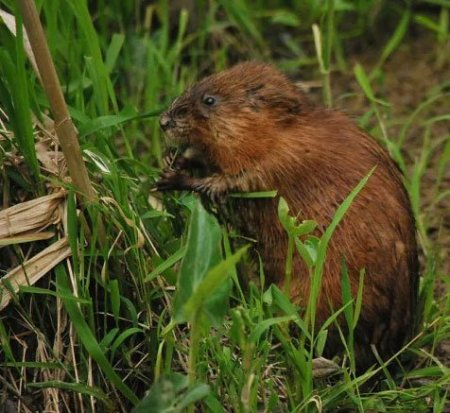 Muskrats are herbivores. You may need Animal Removal Services Of Virginia Muskrat Trapping Removal Experts.