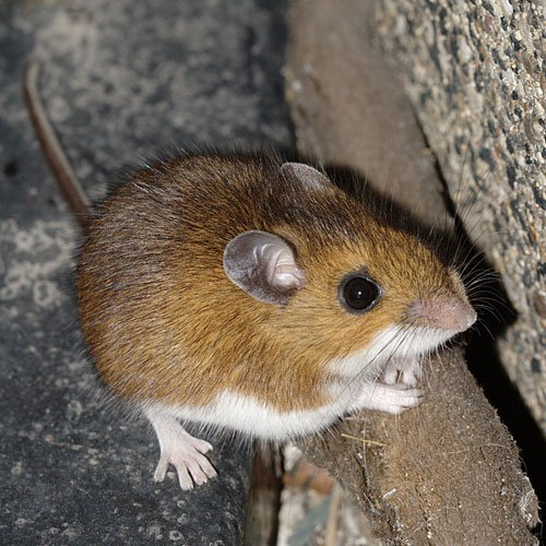 mouse 1 The 10 Most Horrific Animals That Scare People