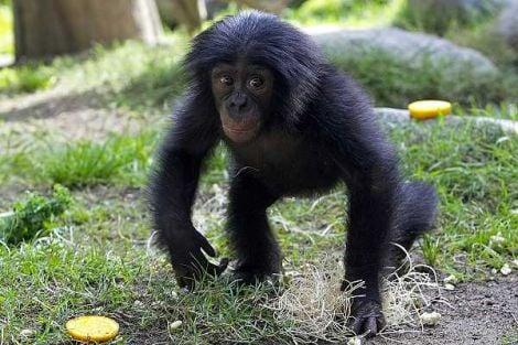 Bonobo Animals Zone