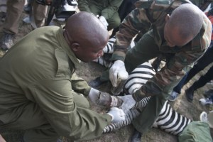 Removing snare from zebra.  (ANAW photo)