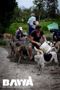 BAWA dog sterilization and vaccination team socializing dogs for easy capture.