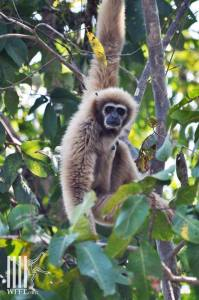 Gibbon at WFFT rescue center in Thailand.