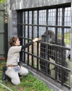 Amanda O'Donoughue with a silverback gorilla circa 2009. (Facebook photo)