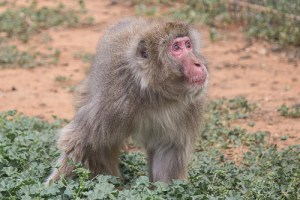 Simon, one of the oldest snow monkeys at the Born Free Primate Sanctuary. (Born Free photo)
