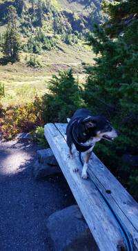 Our dog Bo walks the plank on Mount Baker. (Beth Clifton photo)