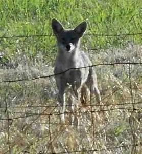 Coyote on alert. (Dennis Baker photo)