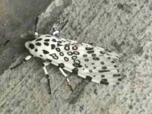 Gypsy moth. (Beth Clifton photo)