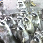 """""""Coon hunt"""" fundraiser may be seen as racist,  frets St. Jude hospital"""
