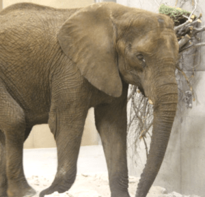 Another of the elephants who were flown to the Henry Doorly Zoo. This elephant also has discharge from the eye. (Henry Doorly Zoo photo)
