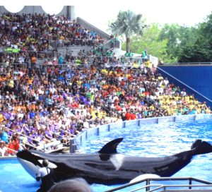 SeaWorld crowd watches the late trainer Dawn Brancheau working with Tilikum, the orca who later killed her. (Manilenya photo)