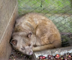 Civet used in coffee production. (One Green Planet photo)