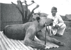 One of the lions after they were shot.