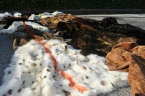 Fox pelts. (Humane Society Intl. photo)